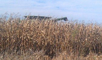 The top of a corner picker emerges from a field near Center Point, Iowa, in early October 2013. (Below) The contents being picked are headed for this wagon.