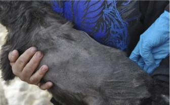 A female, black miniature schnauzer photographed during a March 26, 2013, inspection of the Debra Pratt dog breeding facility. The dog suffered what USDA inspectors called a significant amount of hair loss on her back.