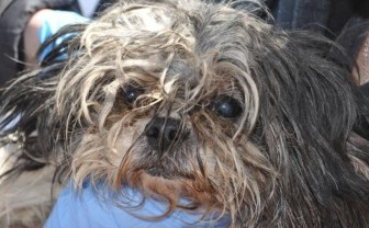 A female shih tzu has hair around the face that is rope-like, twisted and falling into the dog's face during a March 26, 2013, inspection of Debra Pratt's dog breeding facility near New Sharon, Iowa.