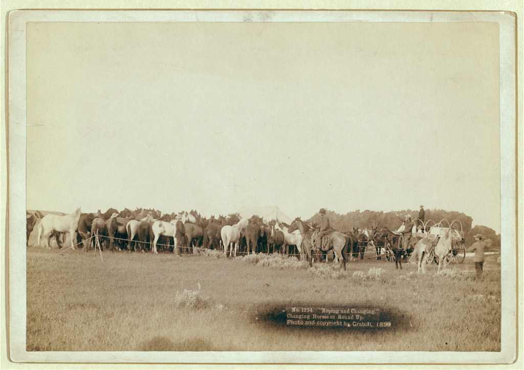 Rear view of herd of horses roped in by cowboys from 1890.