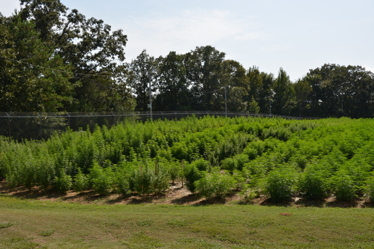 The University of Mississippi is home to the only federally-sanctioned marijuana farm, where all marijuana researchers must get their cannabis to conduct federally-approved studies. Here is a view of their field during the 2014 growing season.