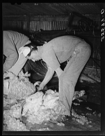 Shearing a goat on ranch in Kimble County, Texas circa 1940.