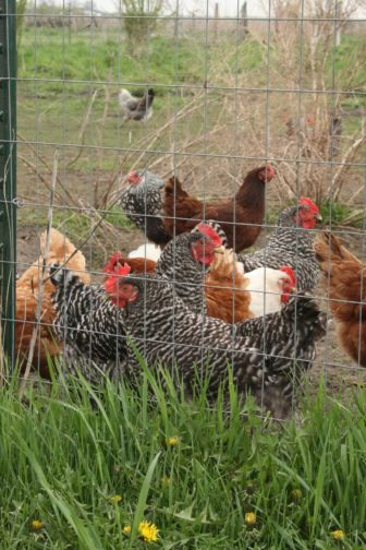 The hens and roosters Rob Faux raises on his farm outside of Tripoli, Iowa for eggs and to be processed as meat were among the crops and poultry hit when the plane sprayed his property in 2012.
